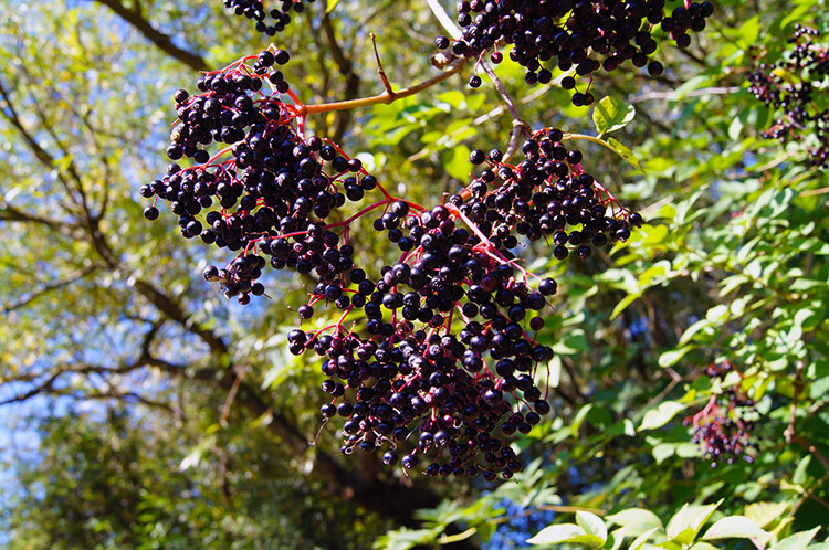 Autumn Elderberries