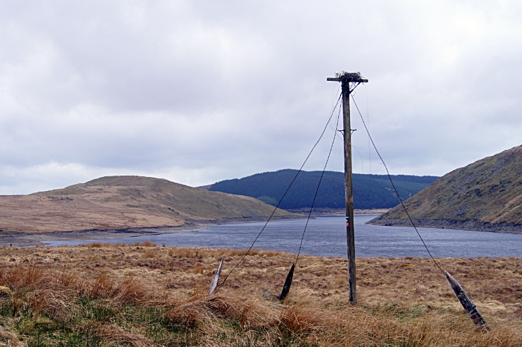 Exposed Heron nest at Nant-y-Moch Reservoir