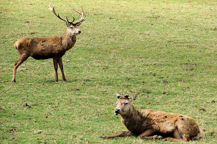 Deer in Harewood Park
