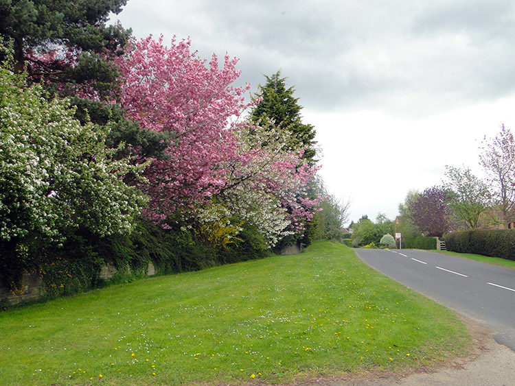 A Kaleidoscope of tree blossom in Ferrensby
