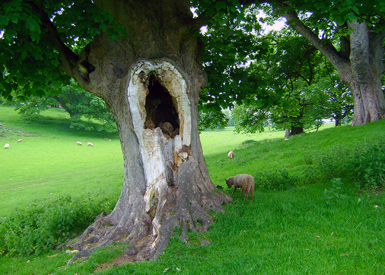 Hole in the tree in Calke Park