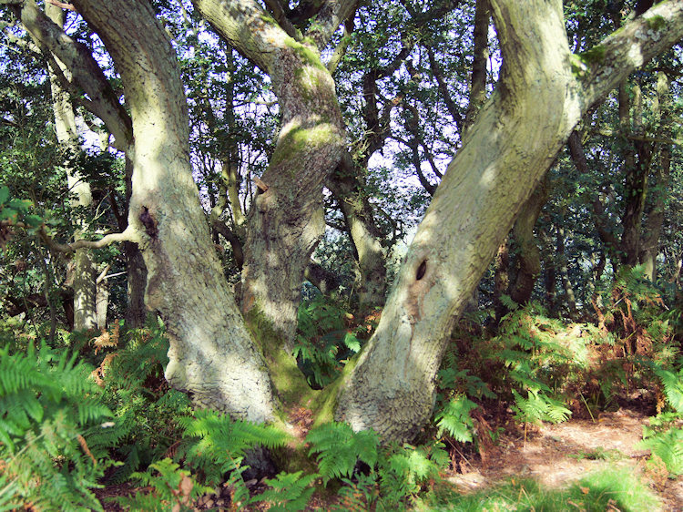 Ancient Oak in Ercall Wood