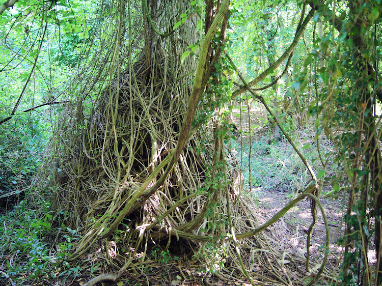 Tree being strangled by invasive Ivy