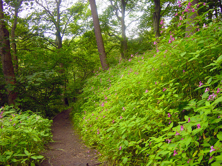 Rich foliage is all around in summer near Hardcastle Crags