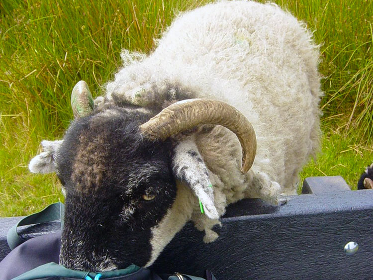 The thieving sheep of Top Withins