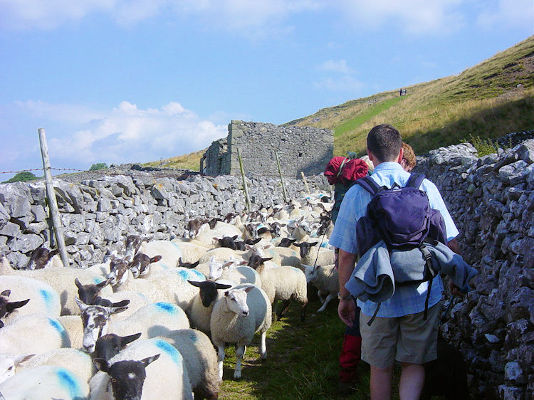 Sheep leaving the fells 