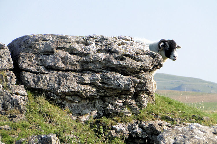 Swaledale Sheep in Limestone