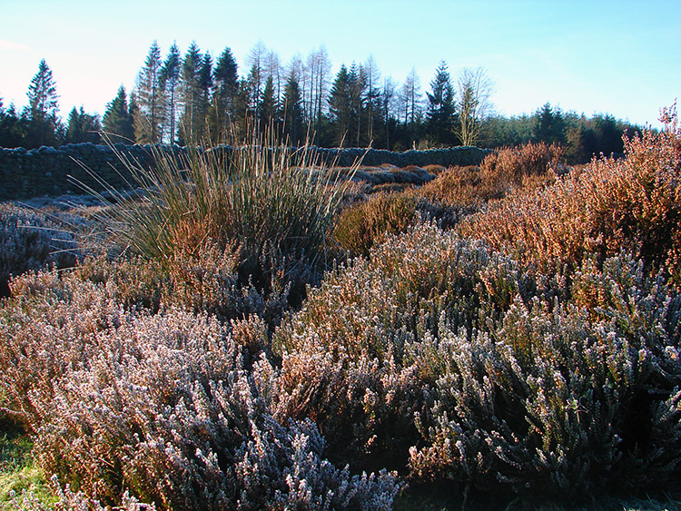 Shimmering heather on Barden Fell