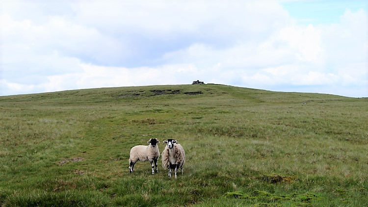 Friendly sheep on Wild Boar Fell