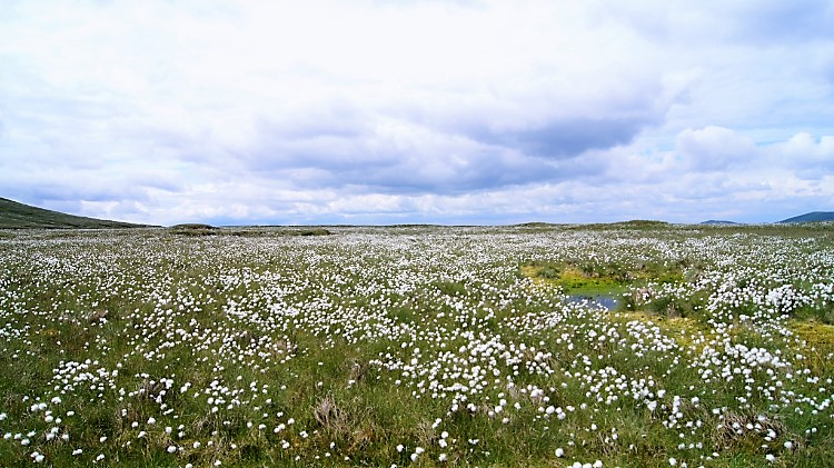 Bog Cotton near Uldale Gill Head