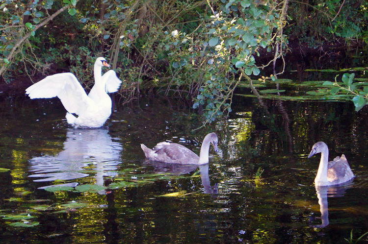 Family of Swans in Pocklington Canal