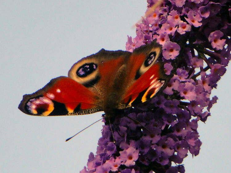 A Peacock Butterfly feasts on Buddleia