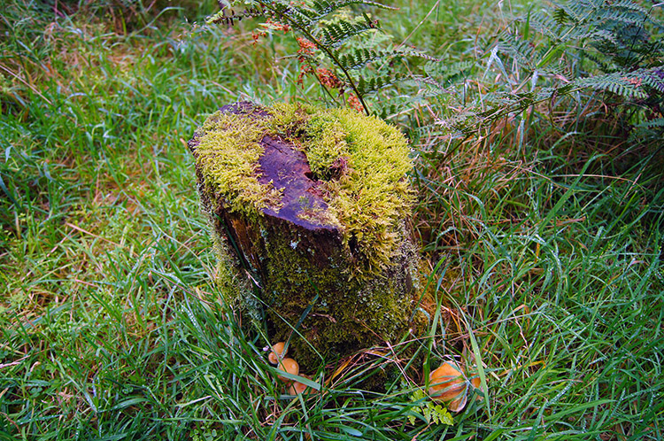 Old tree stump, moss and fungi