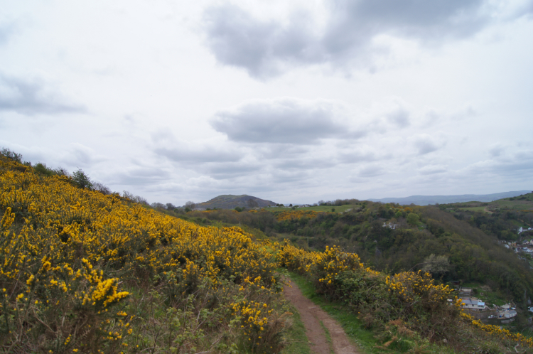 Flowering gorse alongside Offa's Dyke Path
