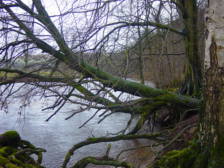 Tree taking a dip in the Wharfe