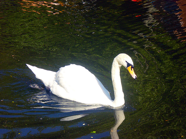 A Swan cruising on the Leeds and Liverpool Canal
