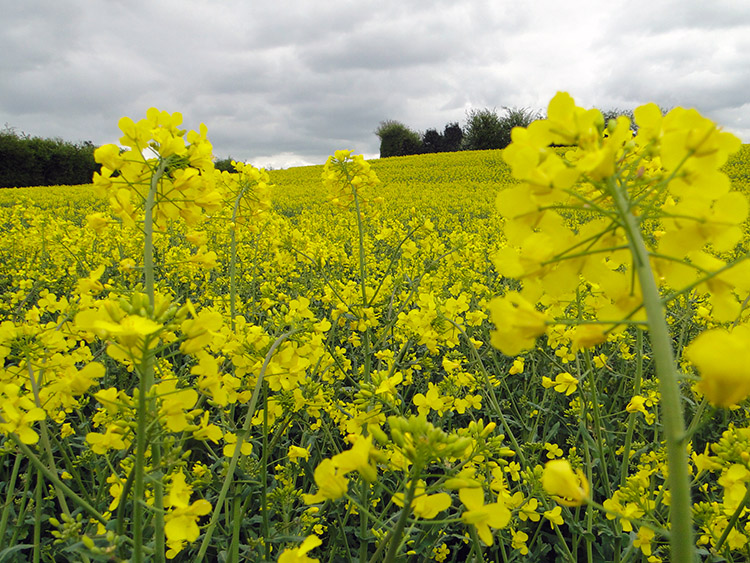 Rapeseed brings vivid colour to a dull day