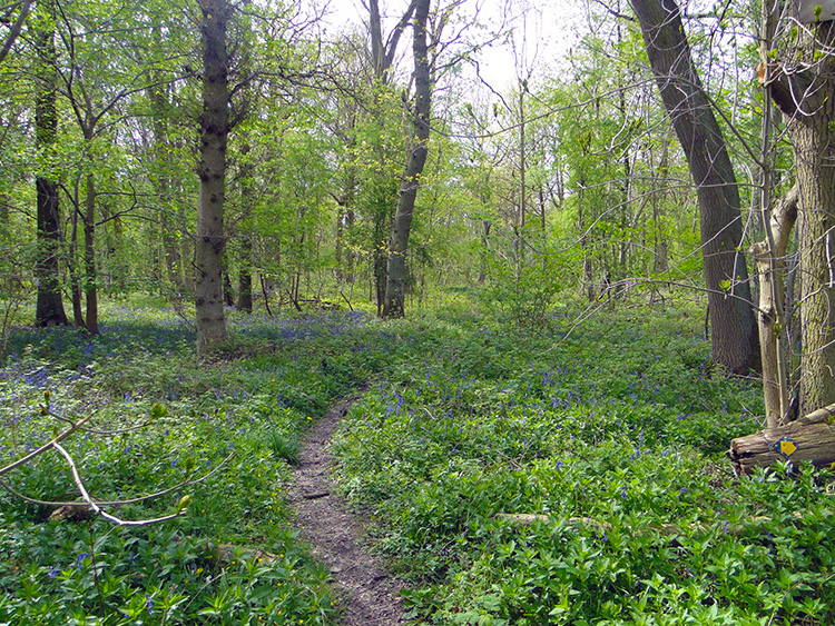Parsonage Wood near Goldsborough
