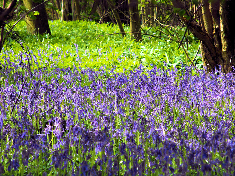 Carpet of Bluebells on the Knaresborough Round
