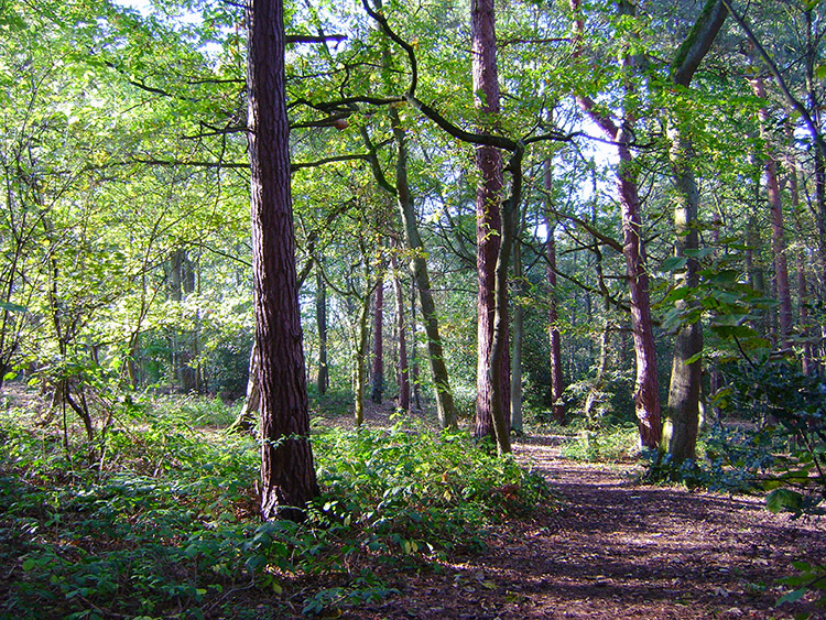 Harrogate Pinewoods near Harlow Moor Road