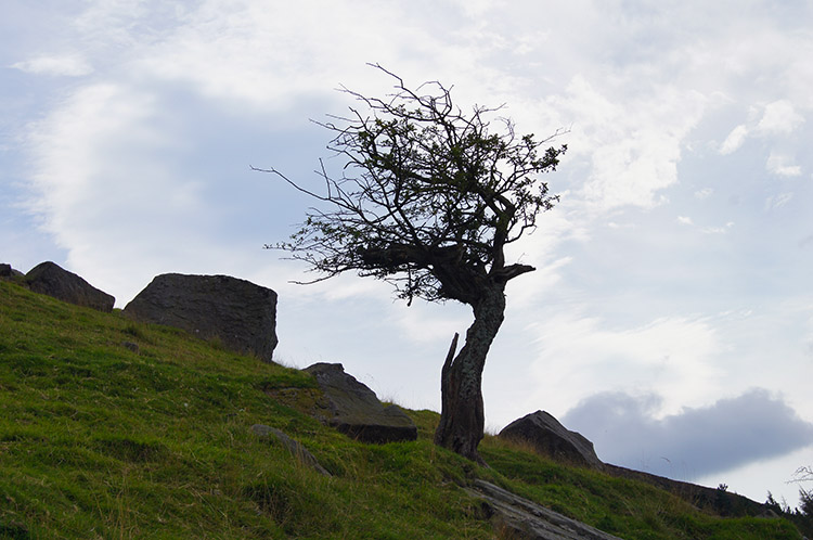 A Hawthorne shows the direction of the prevailing wind
