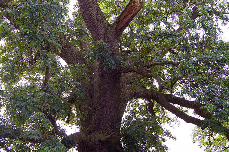 Common Walnut on Rakes Lane