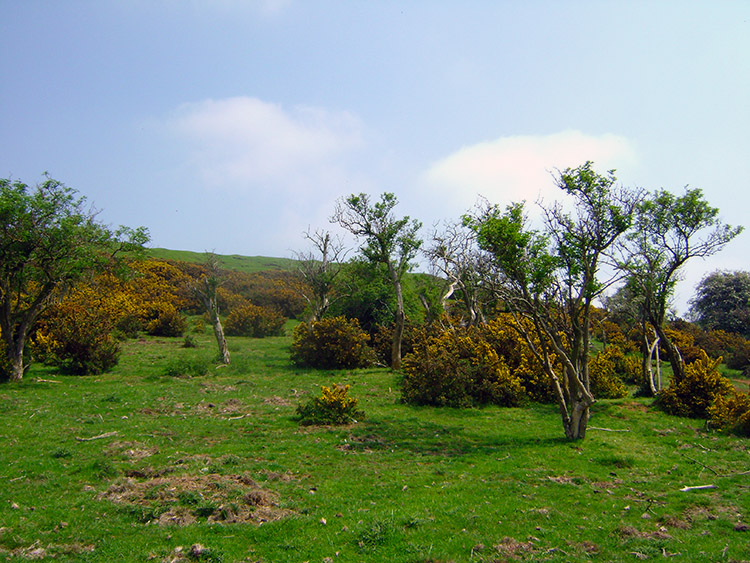 Gorse and Hawthorn flank Burrough Hill