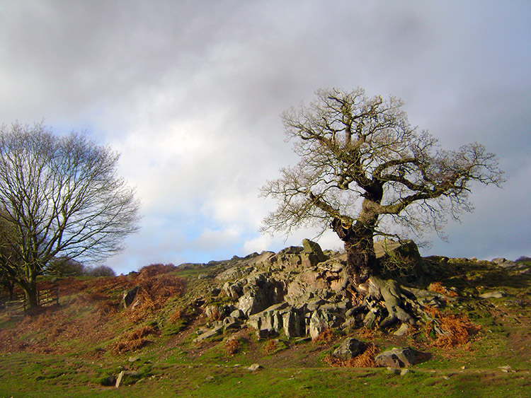 Oak Tree clinging on to the rock outcrop