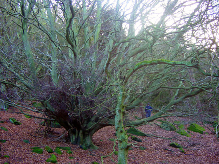 This tree fans out resplendently in Bonny Wood