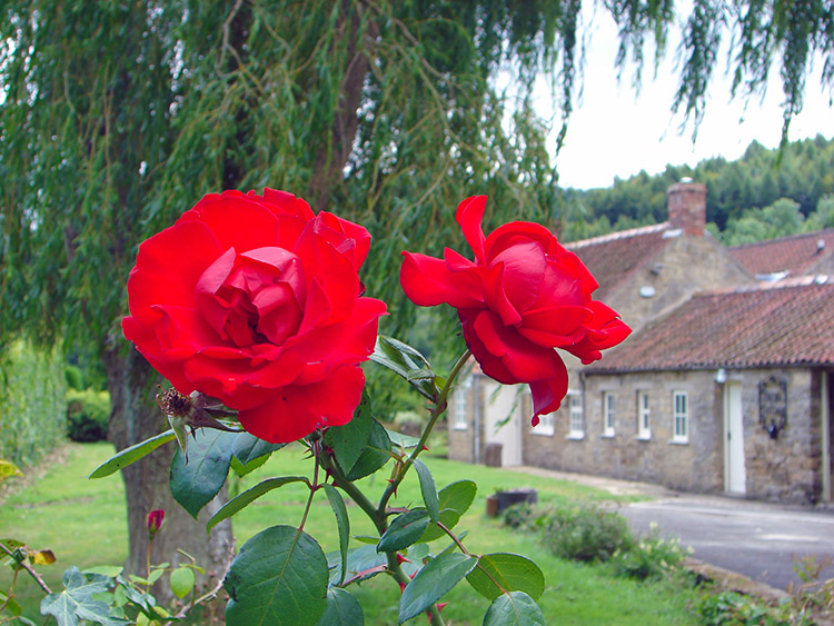 Beautiful red roses near Rievaulx Bridge