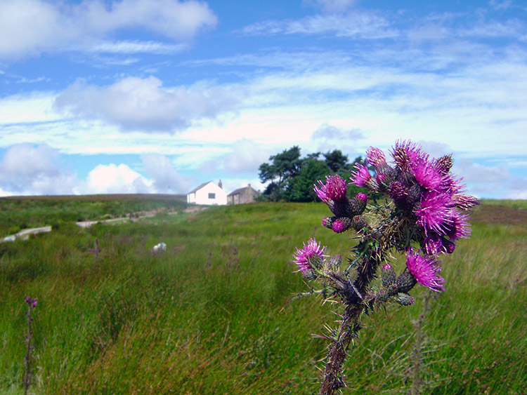 Thistle blossom on Dallowgill Moor