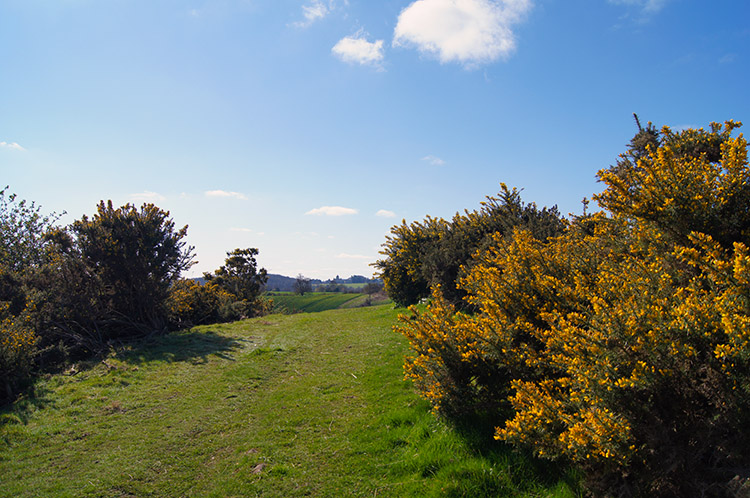 Gorse in bloom near Coneysthorpe