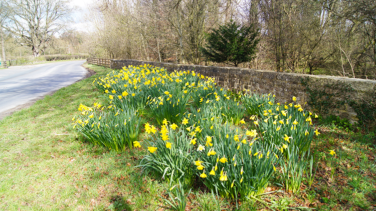 Daffodils beside Studley Road