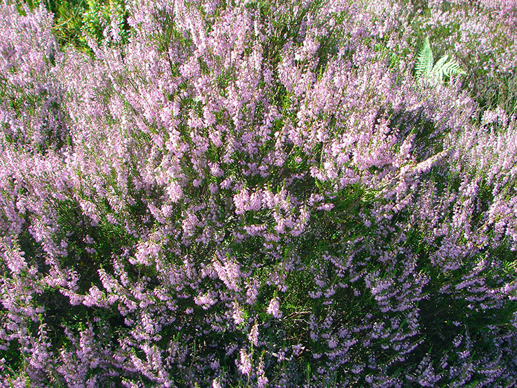 Heather in full bloom