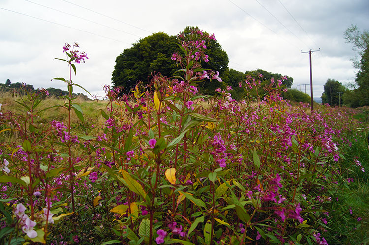 Brilliant pink beside the Usk near Brecon